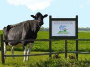 lindale-cows