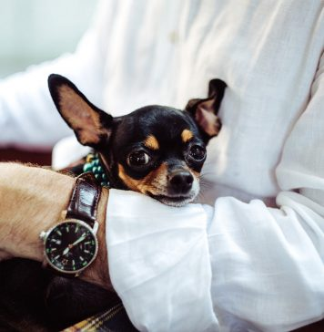 Emotional Support Chihuahua