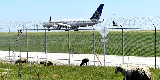 Goats, Sheep & Bees at O'Hare—O'My
