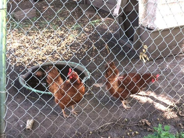 County Board Votes Against Allowing Backyard Chickens in Rural DeKalb County
